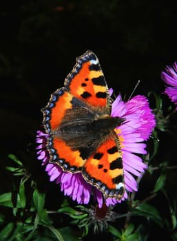 butterfly-little-fox-butterflies-edelfalter-50589.jpeg